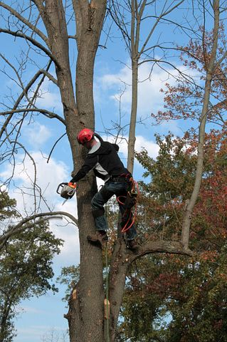arborist in Sydney while checking a tree